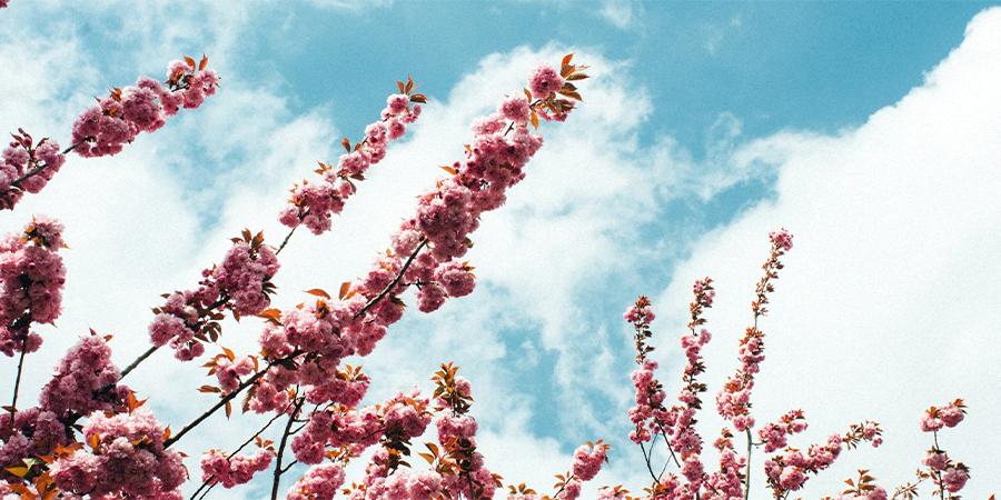 Kirsebærtræ i blomst